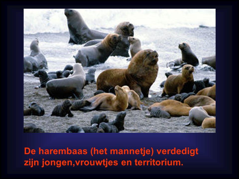 De harembaas (het mannetje) verdedigt zijn jongen,vrouwtjes en territorium.