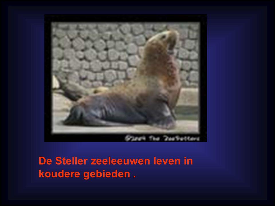 De Steller zeeleeuwen leven in koudere gebieden .