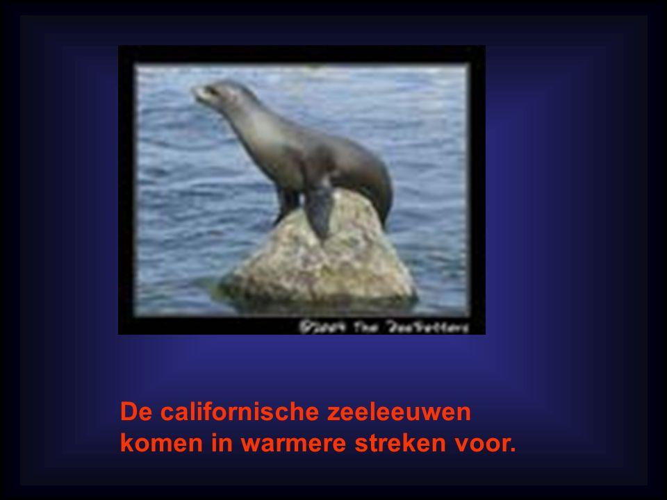 De californische zeeleeuwen komen in warmere streken voor.