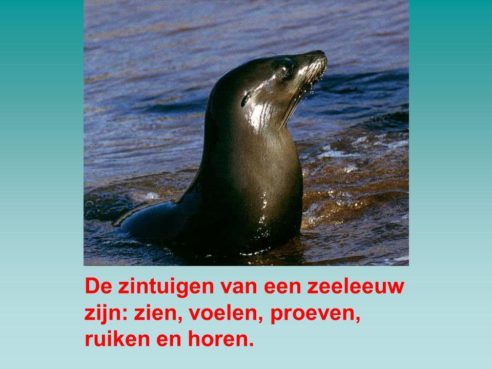 De zintuigen van een zeeleeuw zijn: zien, voelen, proeven, ruiken en horen.