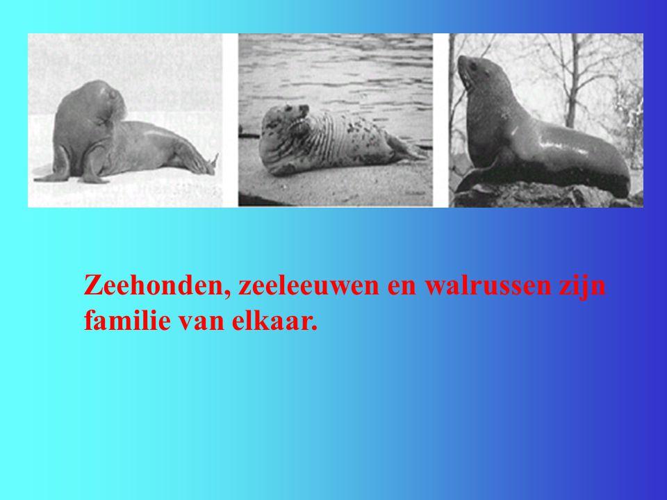 Zeehonden, zeeleeuwen en walrussen zijn