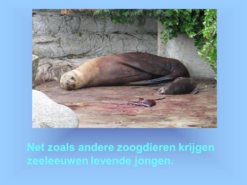 Net zoals andere zoogdieren krijgen zeeleeuwen levende jongen.