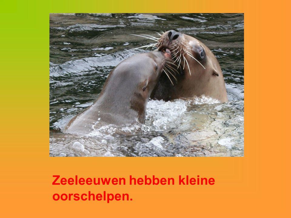 Zeeleeuwen hebben kleine oorschelpen.