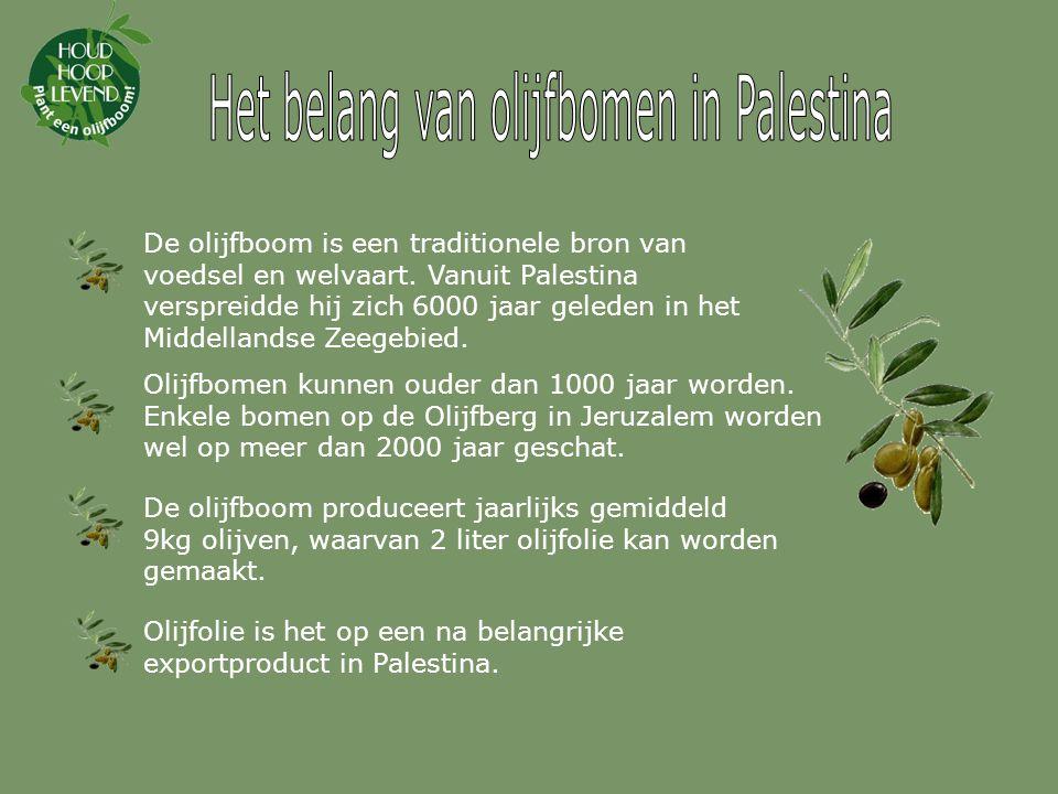 Het belang van olijfbomen in Palestina