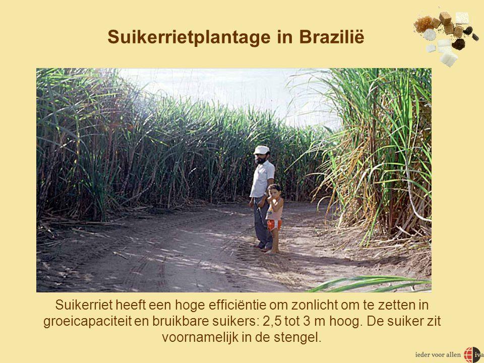 Suikerrietplantage in Brazilië
