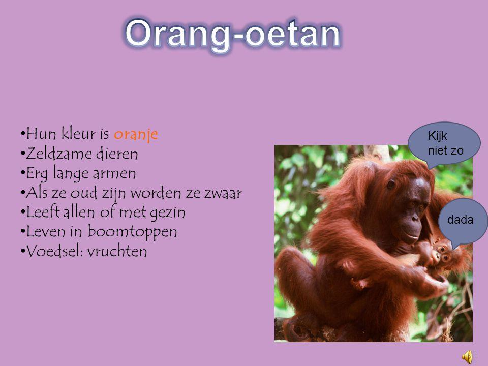 Orang-oetan Hun kleur is oranje Zeldzame dieren Erg lange armen