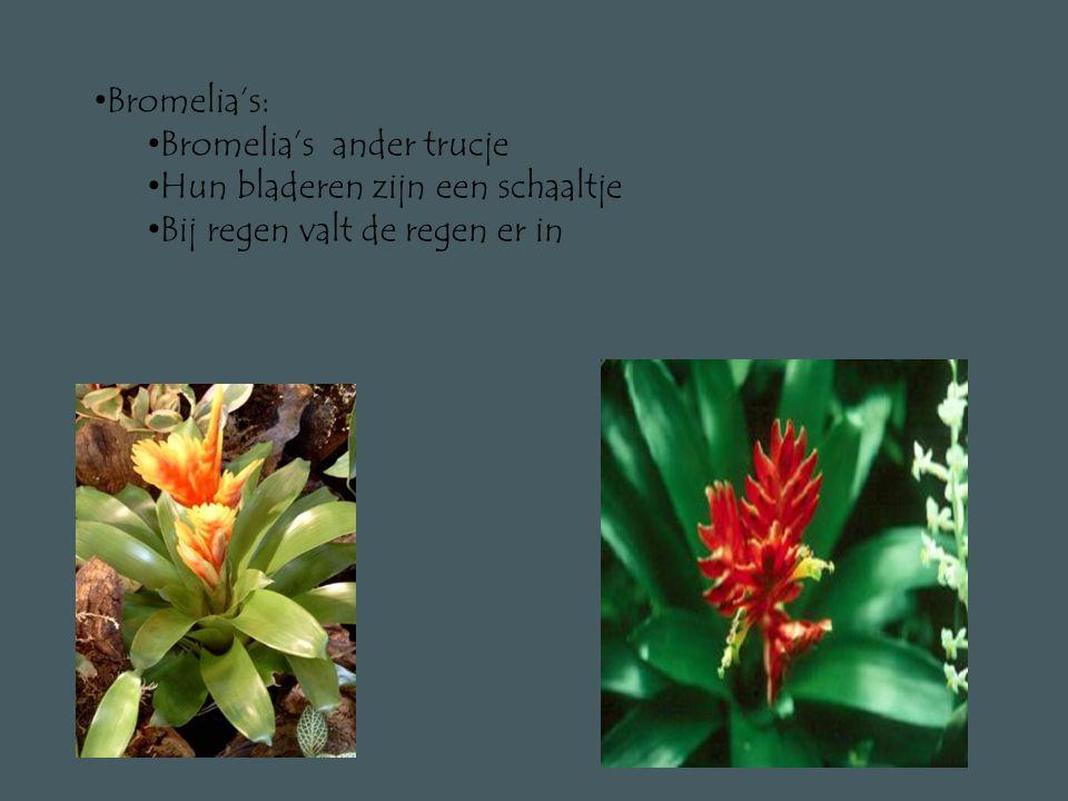 Bromelia's: Bromelia's ander trucje Hun bladeren zijn een schaaltje Bij regen valt de regen er in