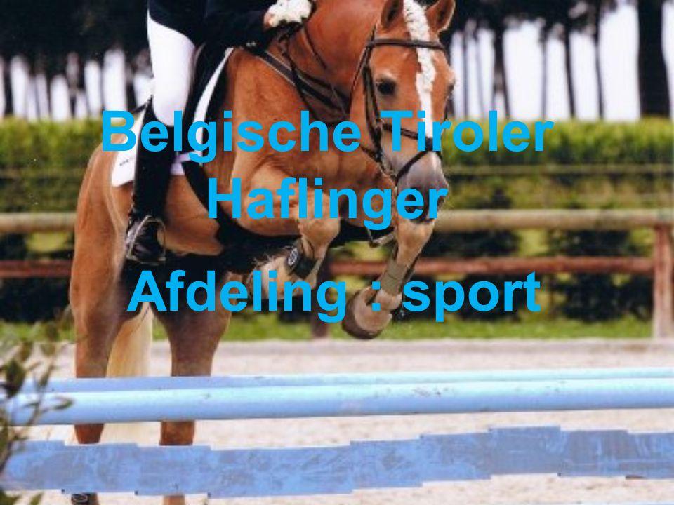 Belgische Tiroler Haflinger