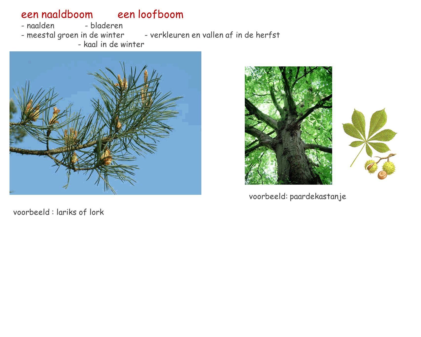 een naaldboom een loofboom