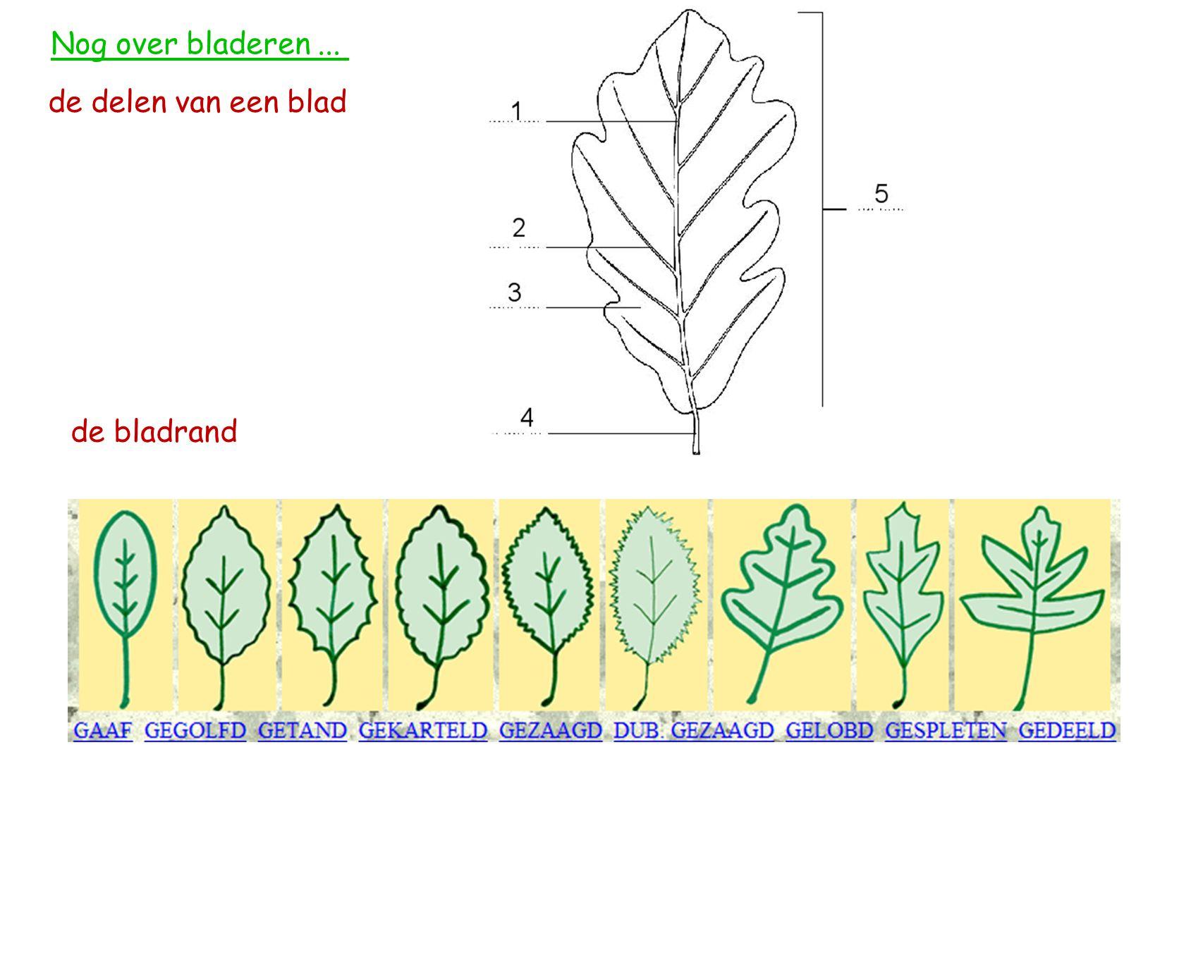 Nog over bladeren ... de delen van een blad de bladrand