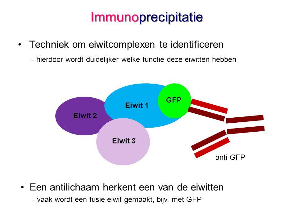 Immunoprecipitatie Techniek om eiwitcomplexen te identificeren