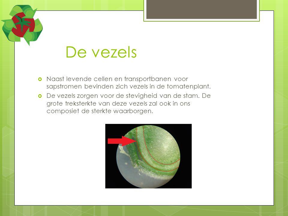 De vezels Naast levende cellen en transportbanen voor sapstromen bevinden zich vezels in de tomatenplant.