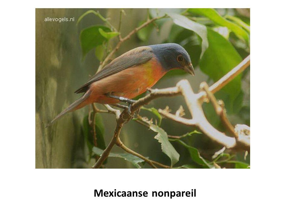 Mexicaanse nonpareil