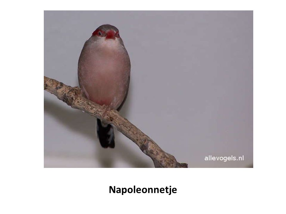 Napoleonnetje
