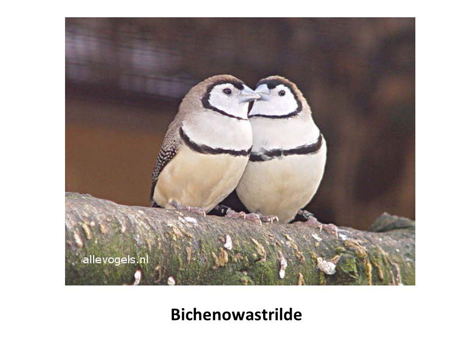 Bichenowastrilde