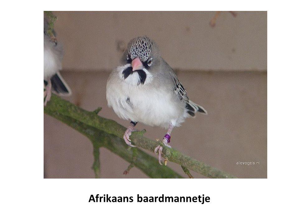 Afrikaans baardmannetje