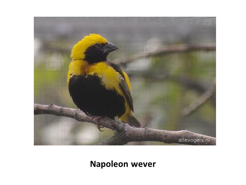 Napoleon wever
