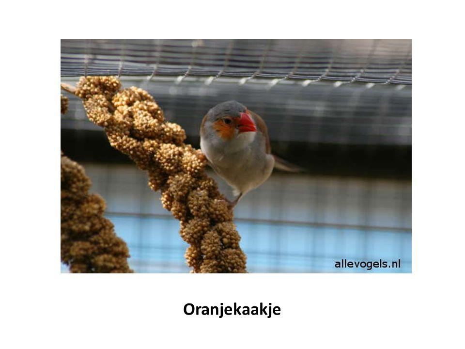 Oranjekaakje