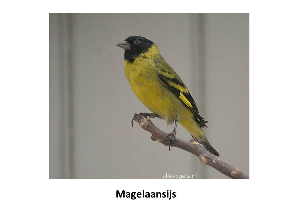 Magelaansijs