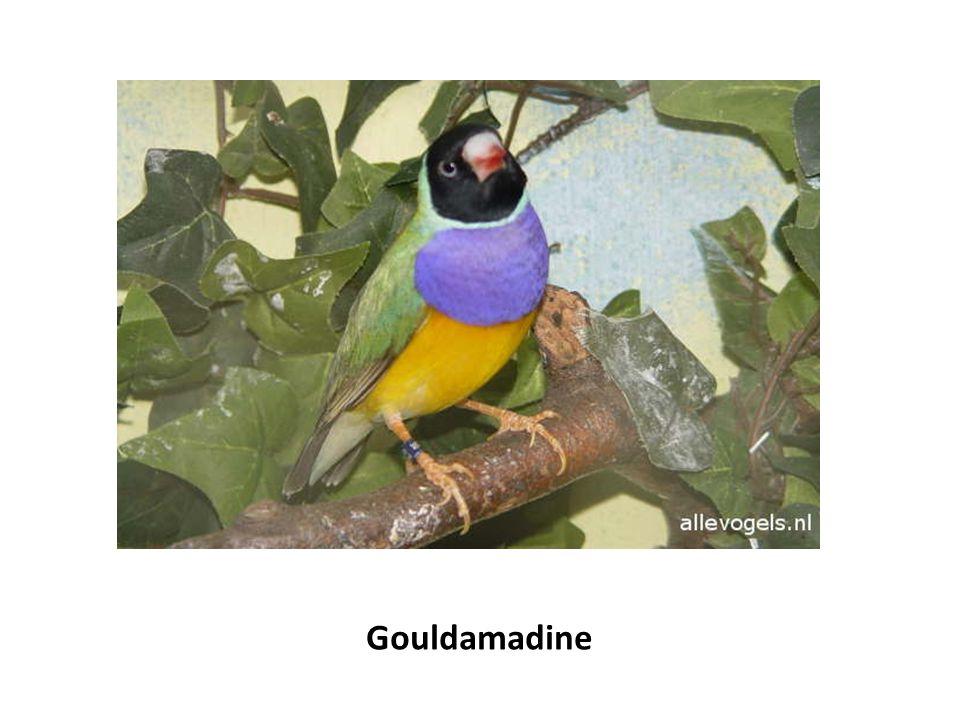 Gouldamadine