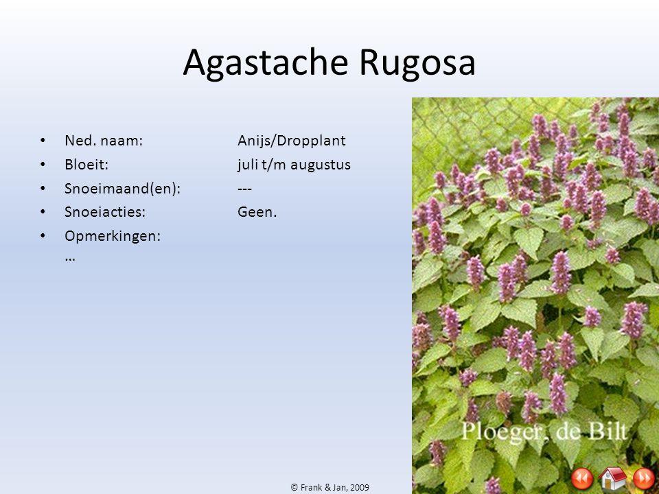 Agastache Rugosa Ned. naam: Anijs/Dropplant Bloeit: juli t/m augustus