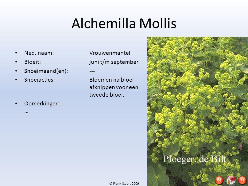 Alchemilla Mollis Ned. naam: Vrouwenmantel Bloeit: juni t/m september