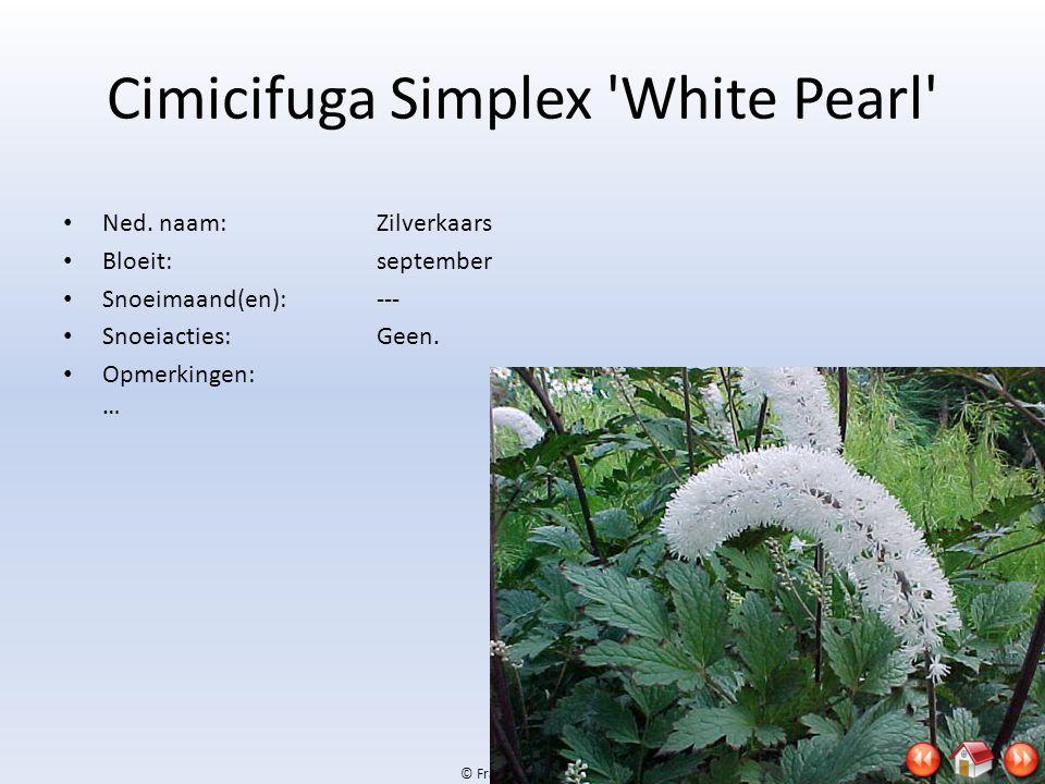 Cimicifuga Simplex White Pearl