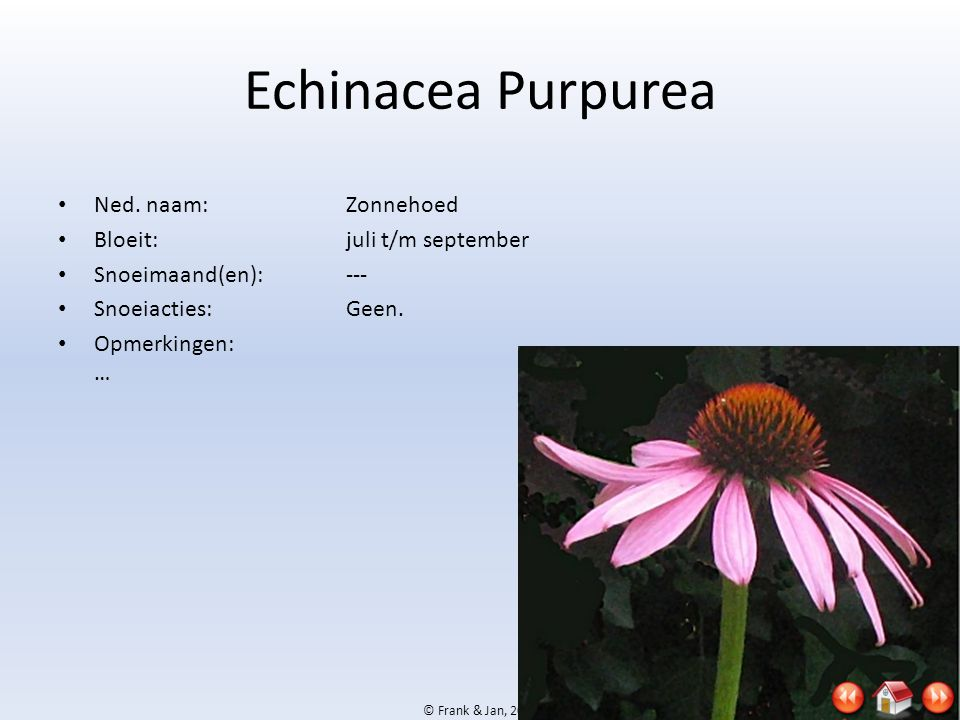 Echinacea Purpurea Ned. naam: Zonnehoed Bloeit: juli t/m september