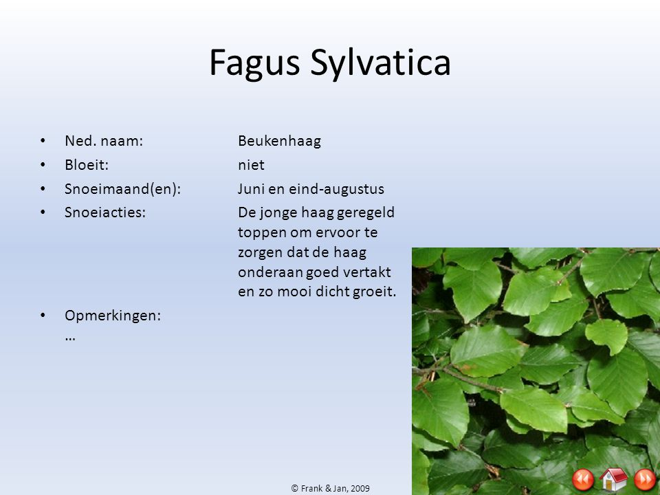 Fagus Sylvatica Ned. naam: Beukenhaag Bloeit: niet