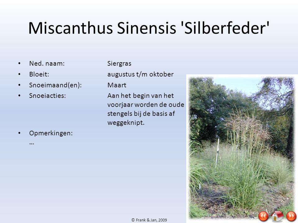 Miscanthus Sinensis Silberfeder