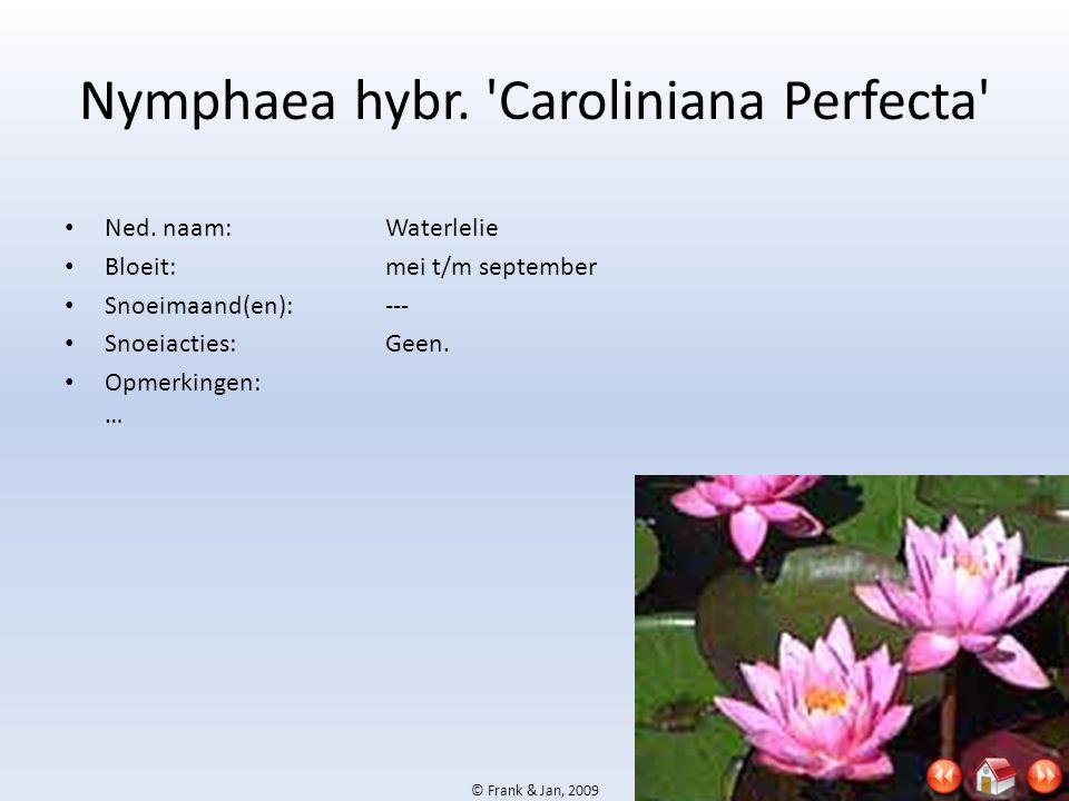 Nymphaea hybr. Caroliniana Perfecta