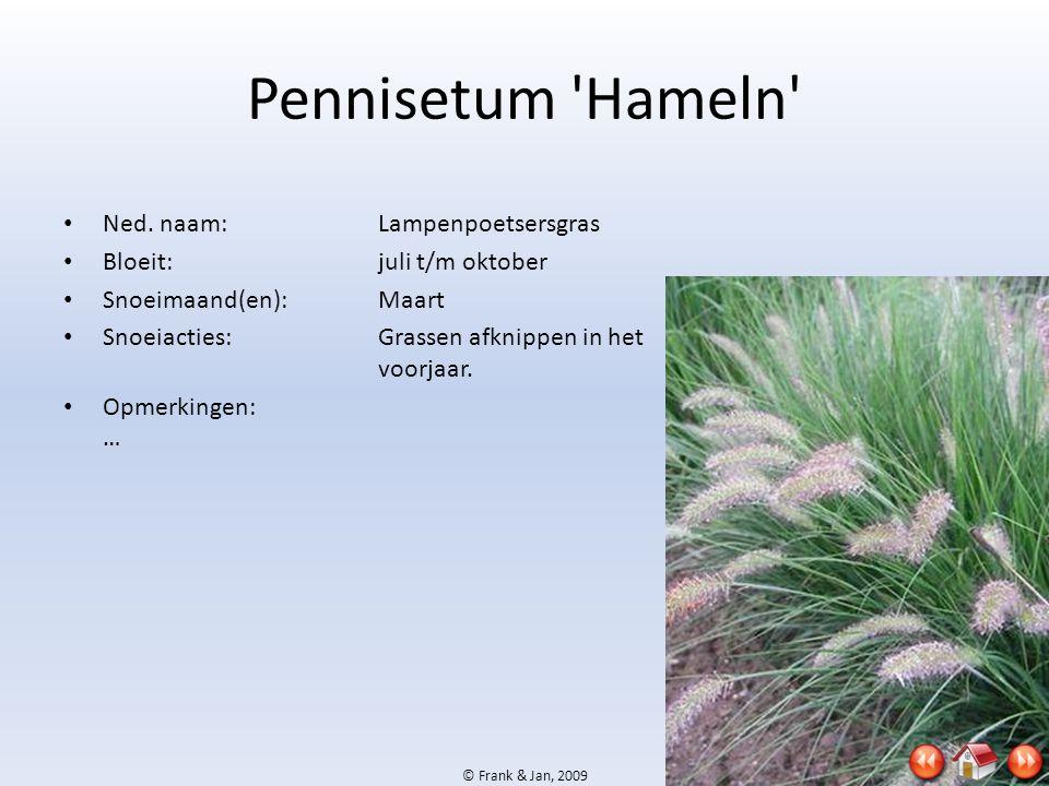 Pennisetum Hameln Ned. naam: Lampenpoetsersgras