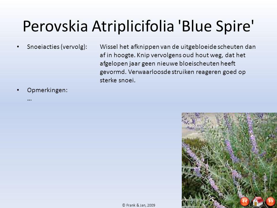 Perovskia Atriplicifolia Blue Spire