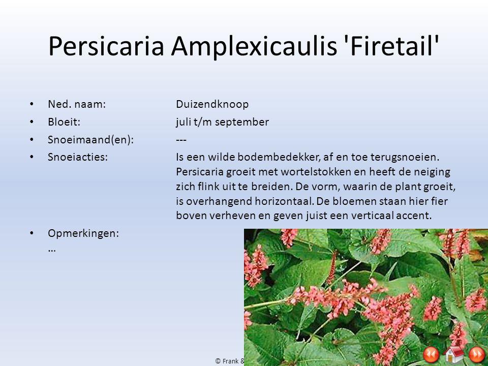 Persicaria Amplexicaulis Firetail