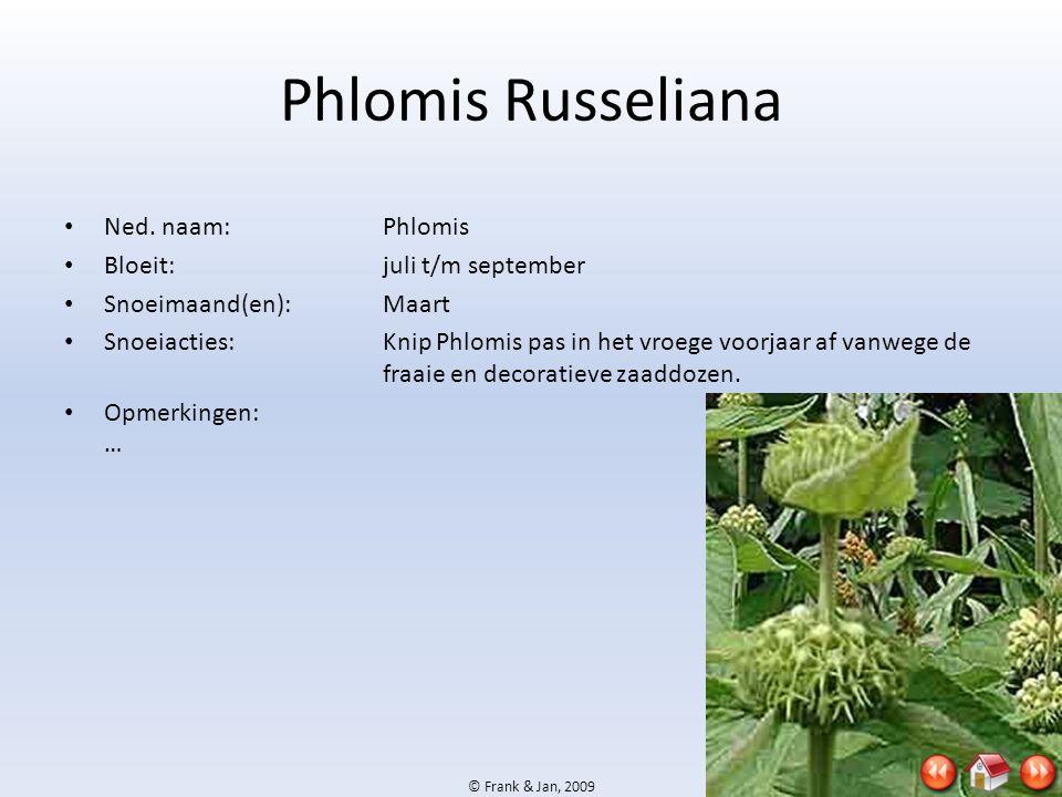 Phlomis Russeliana Ned. naam: Phlomis Bloeit: juli t/m september