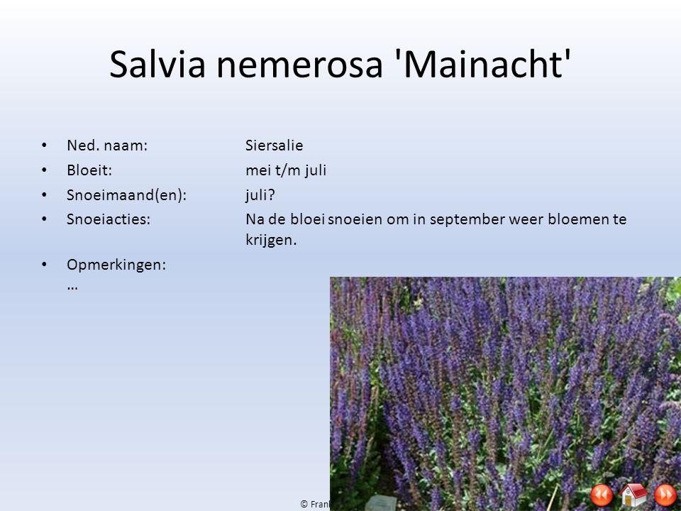 Salvia nemerosa Mainacht