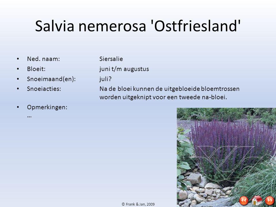 Salvia nemerosa Ostfriesland
