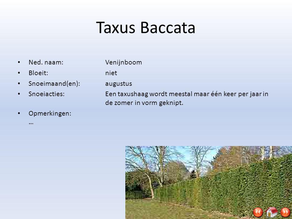 Taxus Baccata Ned. naam: Venijnboom Bloeit: niet