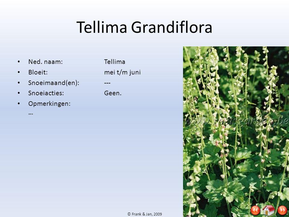 Tellima Grandiflora Ned. naam: Tellima Bloeit: mei t/m juni