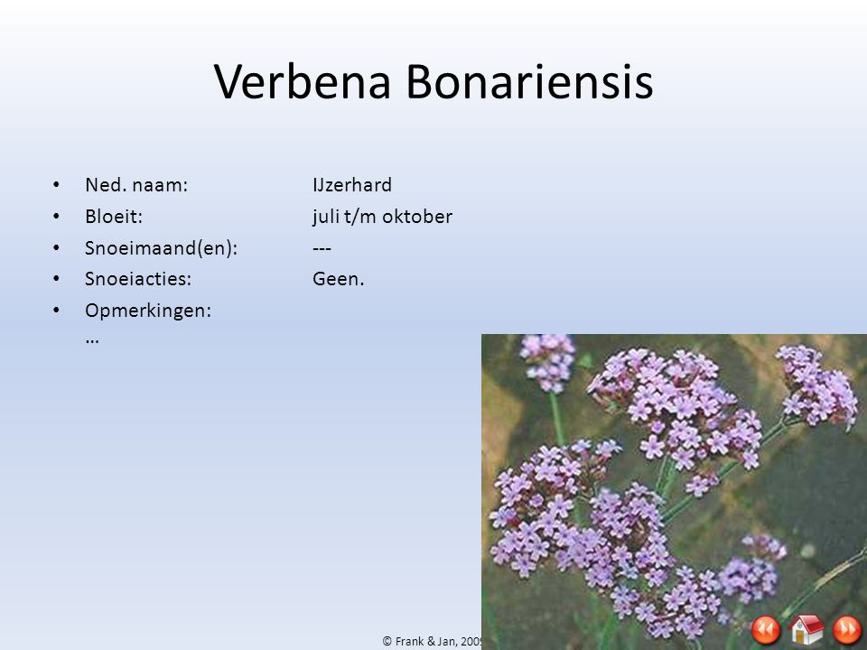 Verbena Bonariensis Ned. naam: IJzerhard Bloeit: juli t/m oktober