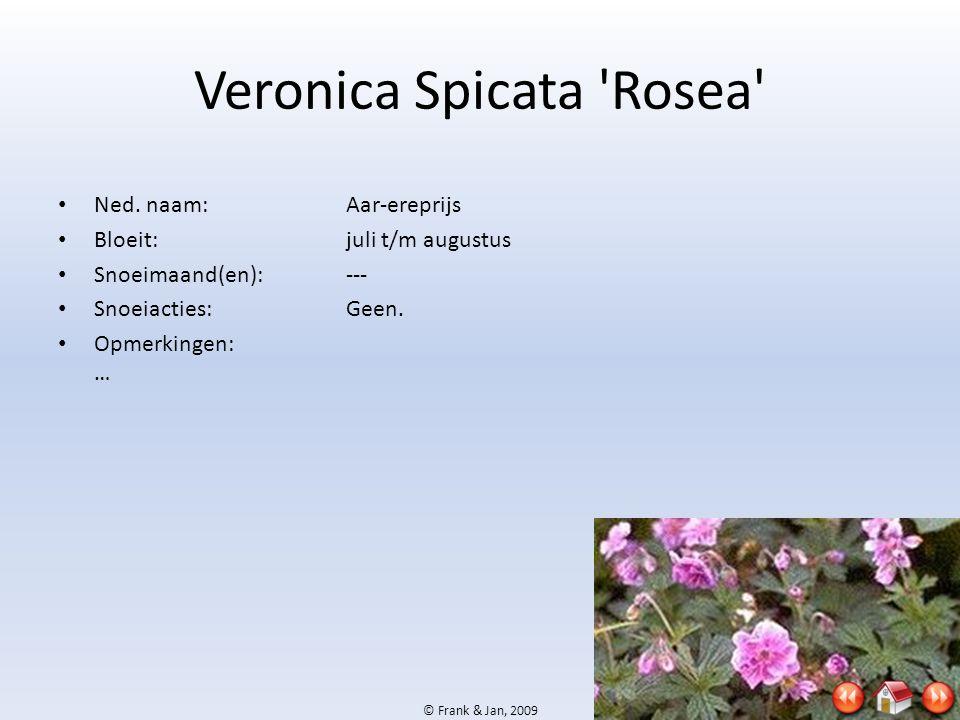 Veronica Spicata Rosea