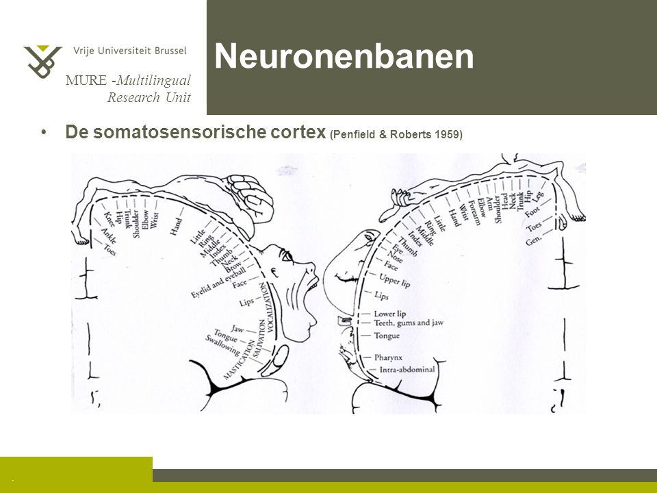 Neuronenbanen De somatosensorische cortex (Penfield & Roberts 1959) .
