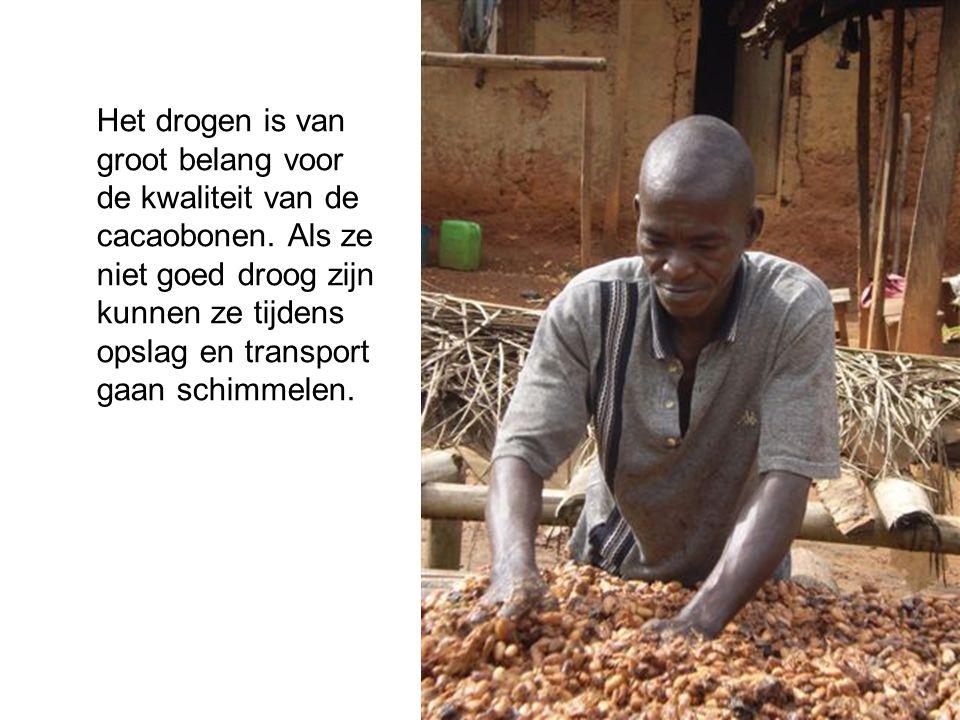 Het drogen is van groot belang voor de kwaliteit van de cacaobonen