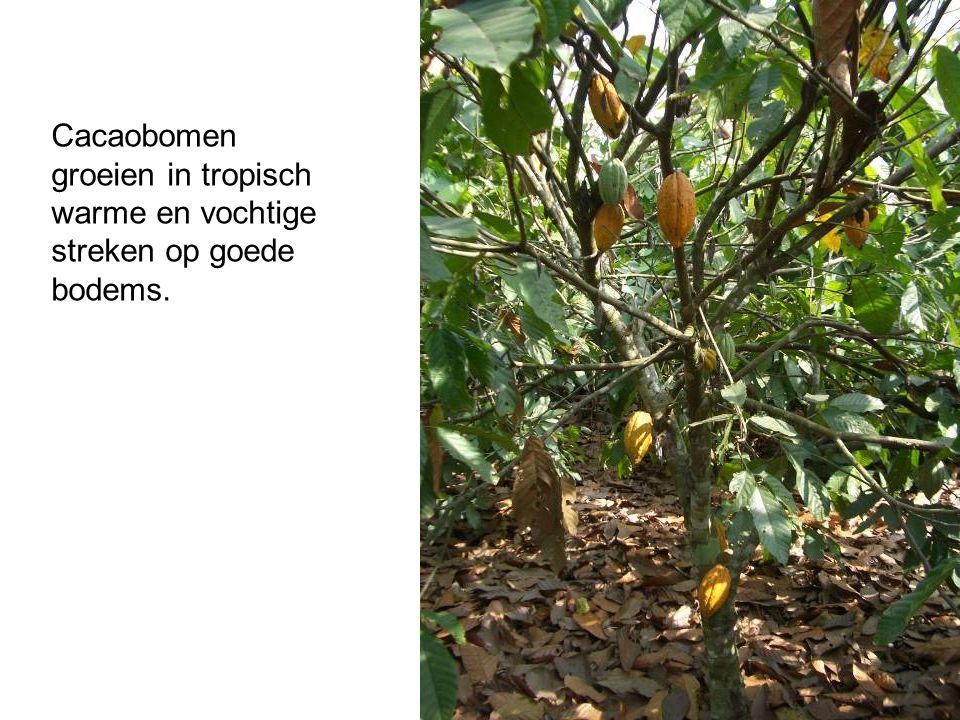 Cacaobomen groeien in tropisch warme en vochtige streken op goede bodems.