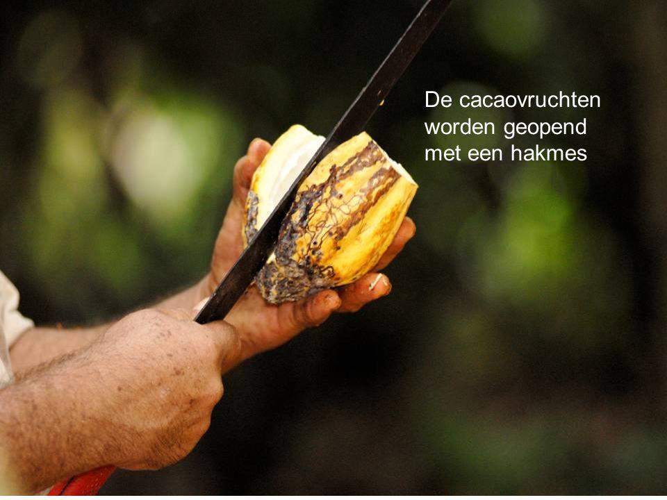 De cacaovruchten worden geopend met een hakmes