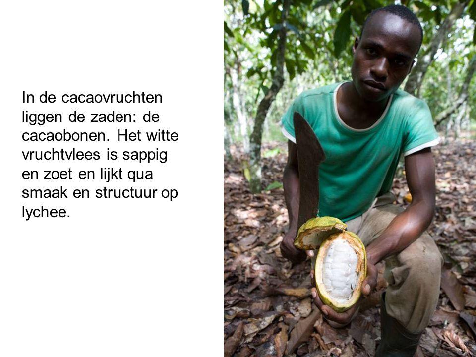 In de cacaovruchten liggen de zaden: de cacaobonen