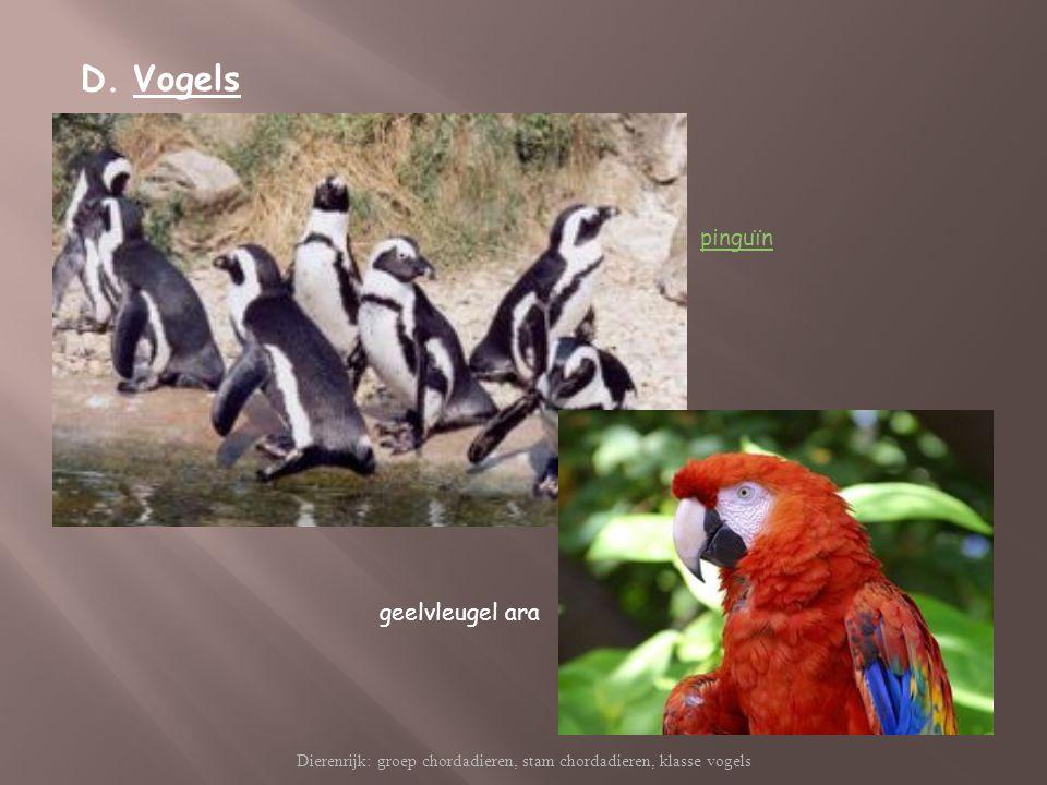 Dierenrijk: groep chordadieren, stam chordadieren, klasse vogels