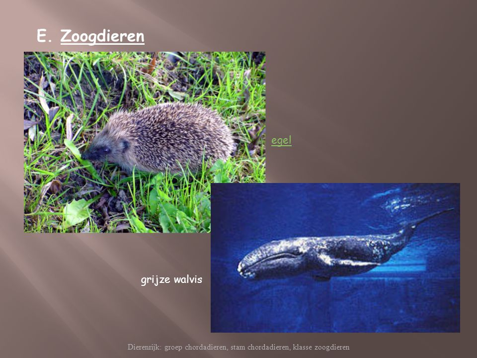 Dierenrijk: groep chordadieren, stam chordadieren, klasse zoogdieren