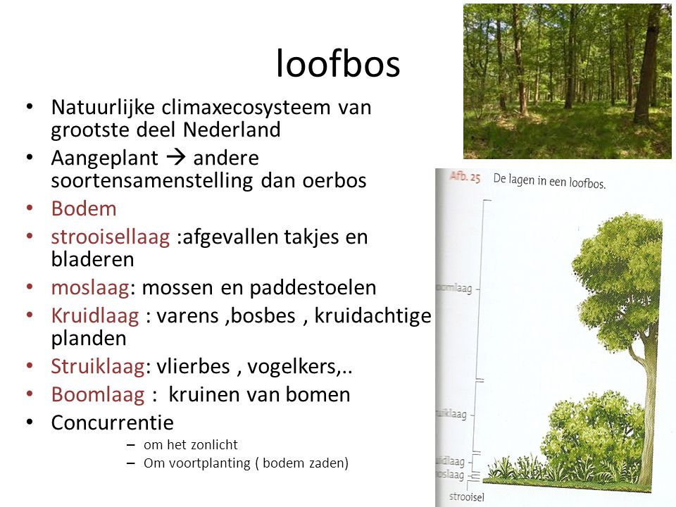 loofbos Natuurlijke climaxecosysteem van grootste deel Nederland