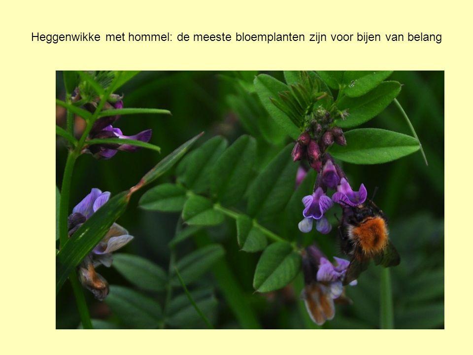Heggenwikke met hommel: de meeste bloemplanten zijn voor bijen van belang